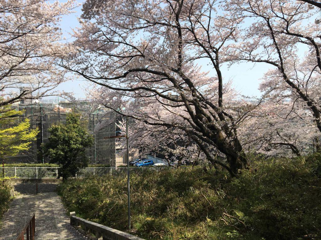 走井山公園の桜